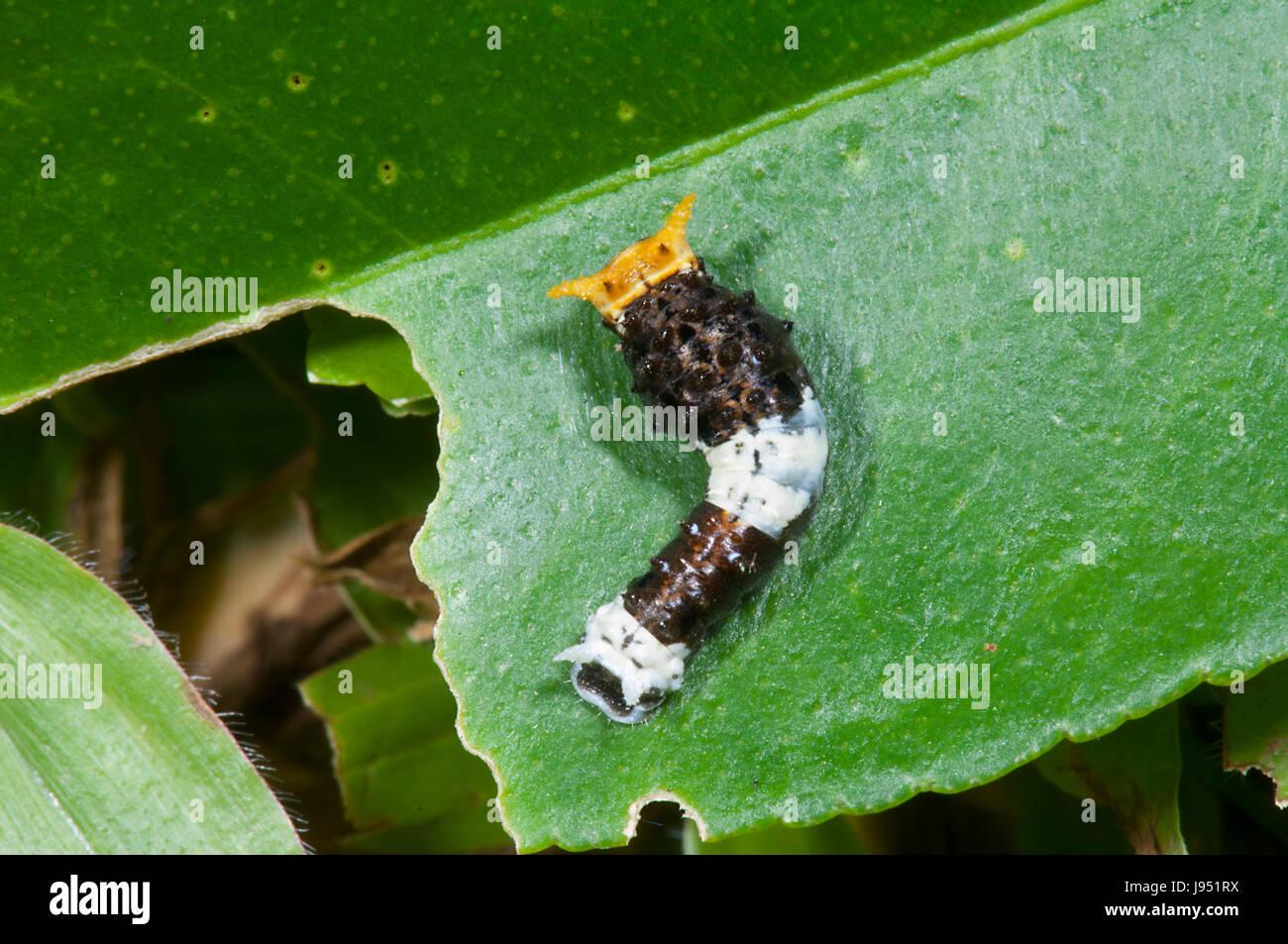 Lime Butterfly Caterpillar (Papilio demoleus malayanus), terza età, estremo Nord Queensland, FNQ, QLD, Australia Immagini Stock