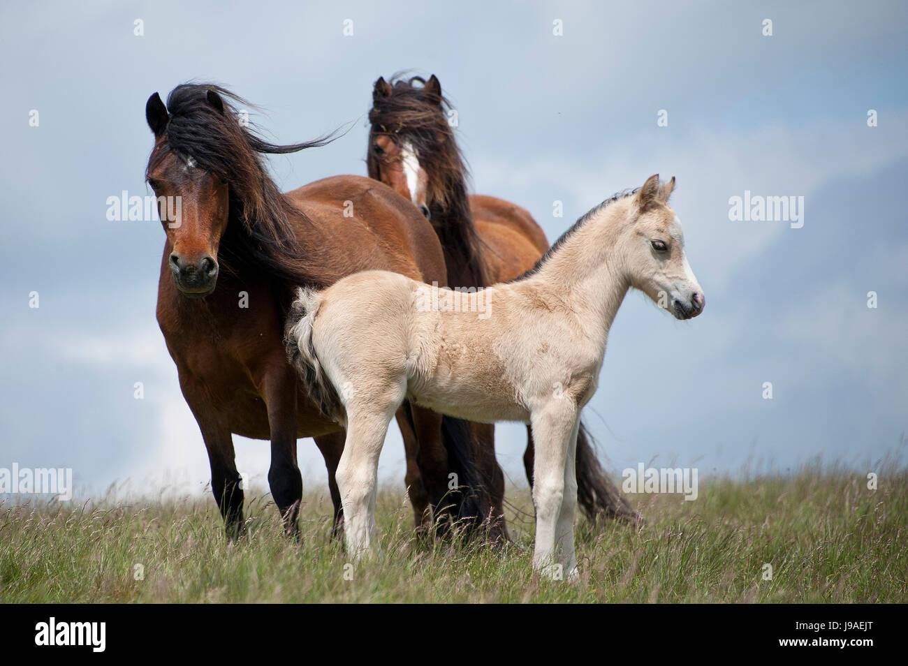 Builth Wells, Powys, Wales, Regno Unito. Il 1 giugno, 2017. Welsh Pony e puledri sono visti in alto la brughiera Immagini Stock