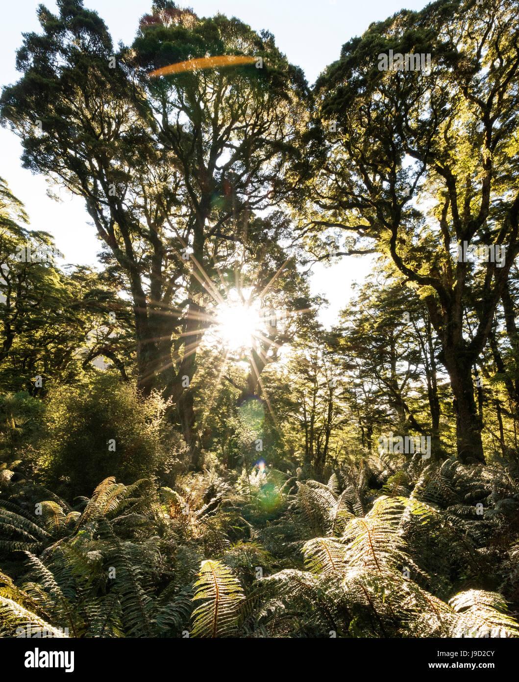 Sole che splende attraverso il baldacchino della foresta pluviale moderato, Keplero via, Parco Nazionale di Fiordland, Immagini Stock
