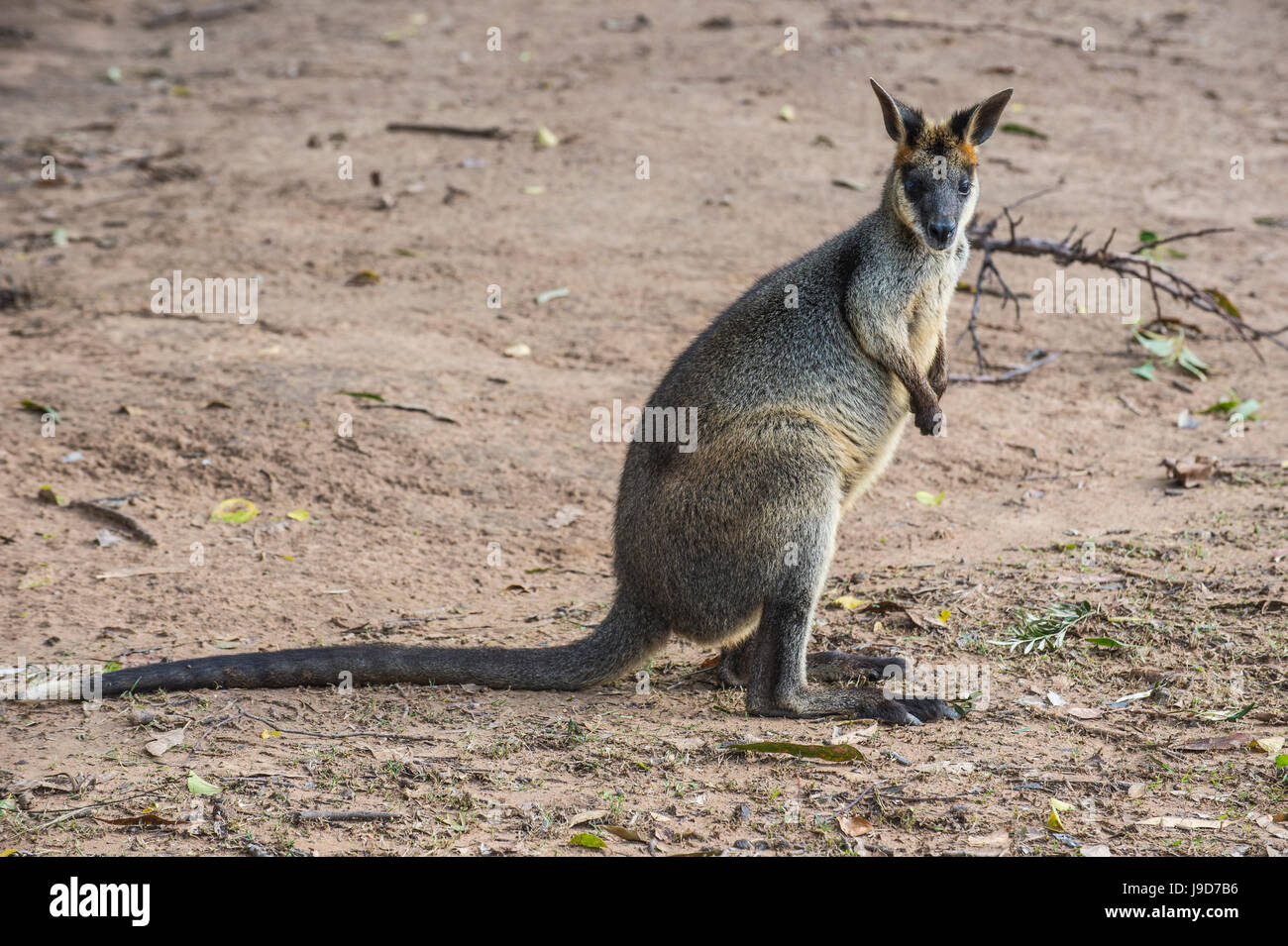 Kangaroo (macropods), Lone Pine Santuario, Brisbane, Queensland, Australia Pacific Immagini Stock