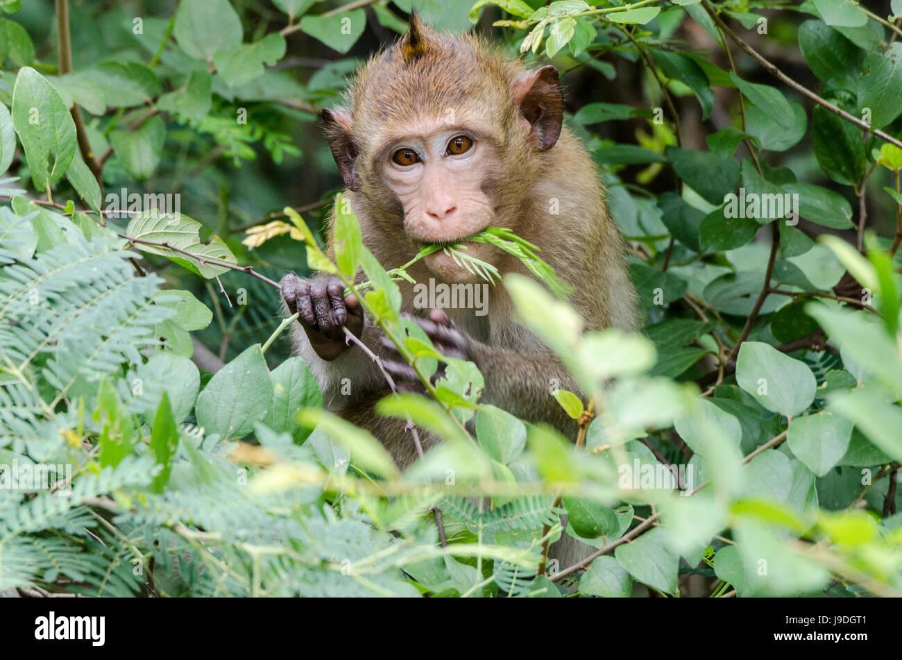 Macachi mangiatori di granchi (Macaca fascicularis) o di lunga coda Macaque Animale guardando dritto nella telecamera Immagini Stock