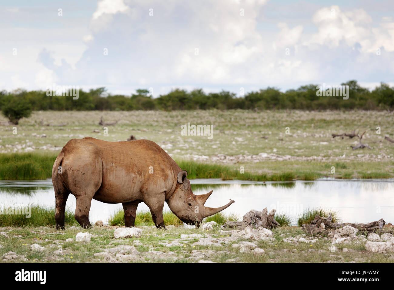 Rhino in piedi da un foro per l'acqua, Etosha NP, Namibia. Immagini Stock