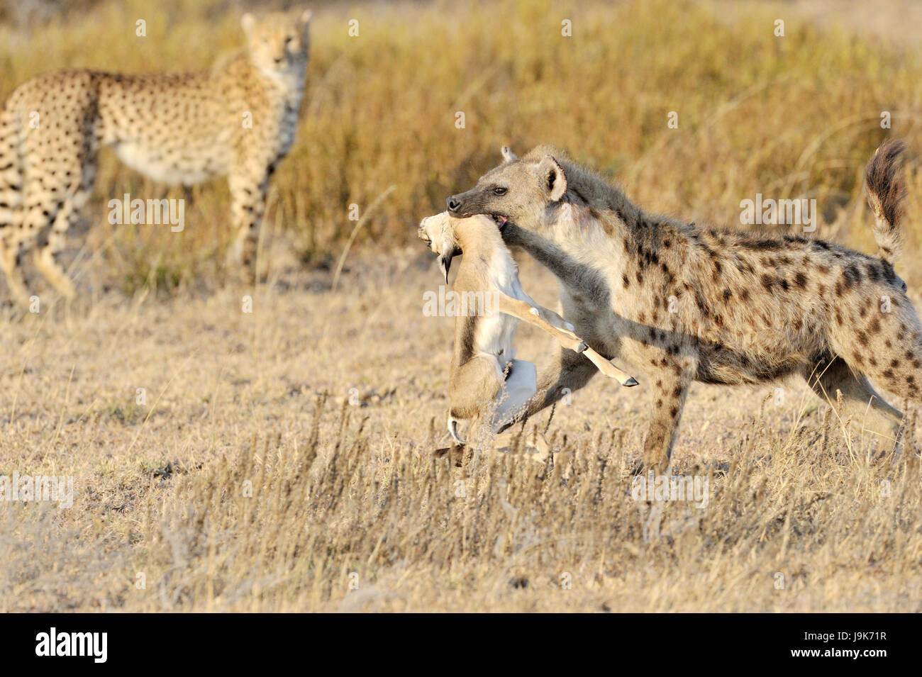 Spotted Hyena (Crocuta crocuta) con ucciso Thomson Gazelle, con ghepardo (Acinonyx jubatus) in background, Serengeti Immagini Stock