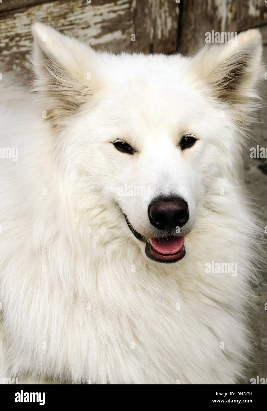 Cane bianco contro la porta di legno Immagini Stock