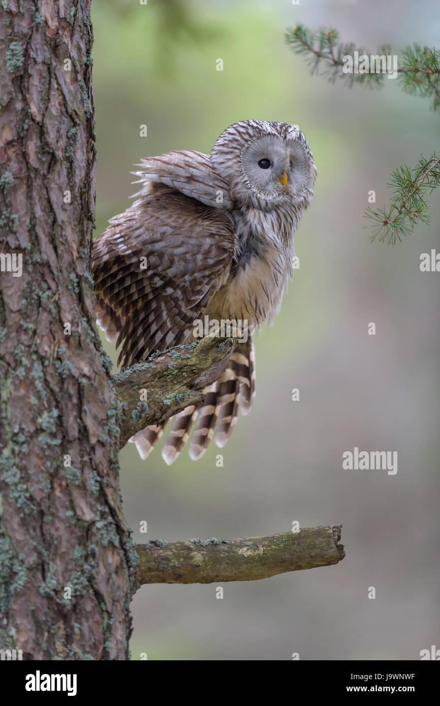 Ural Allocco (Strix uralensis), seduta sul tronco di pino, foresta Boema, Repubblica Ceca Immagini Stock