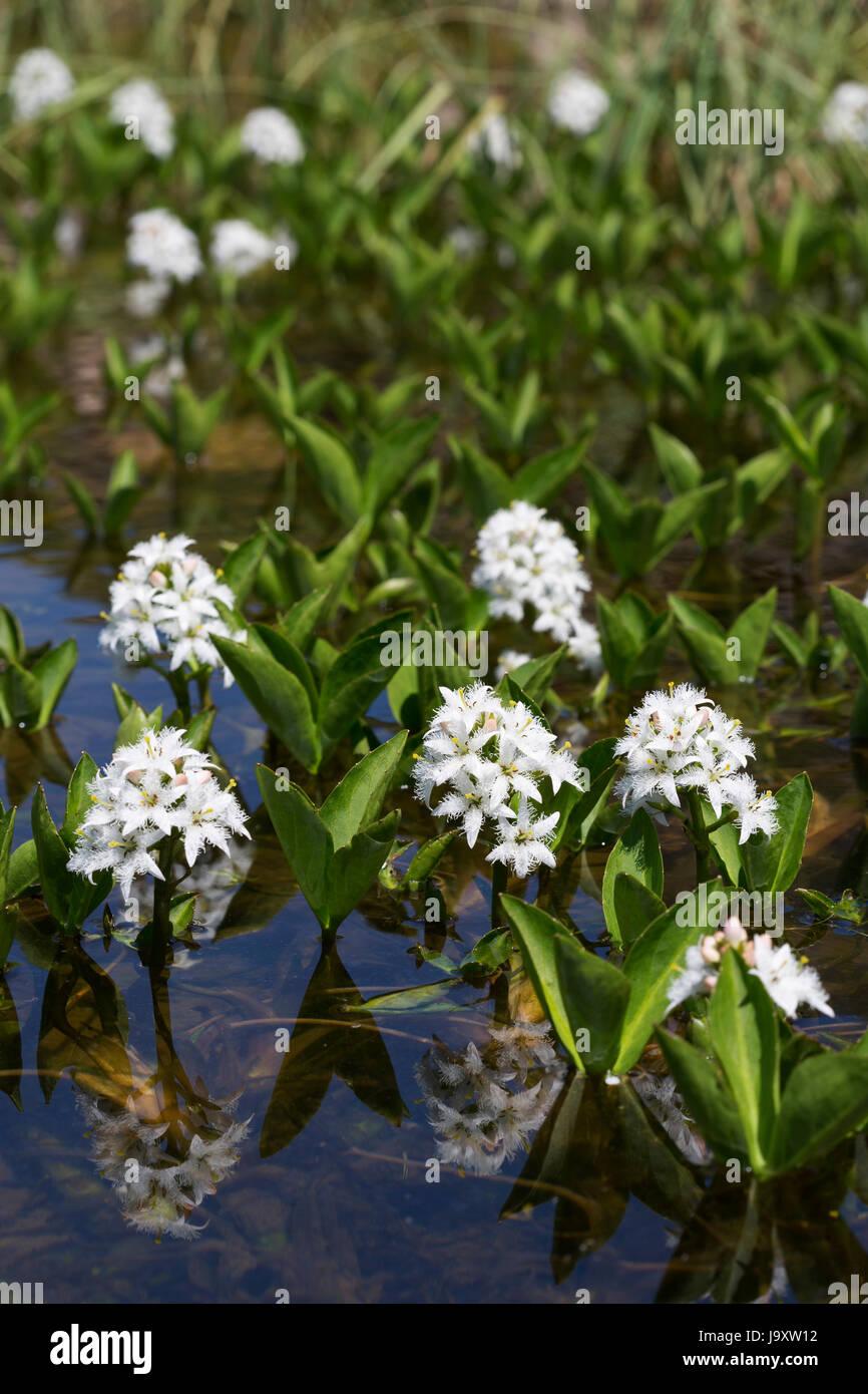 Fieberklee Menyanthes trifoliata Teichpflanzen Teichpflanze Sumpfpflanze