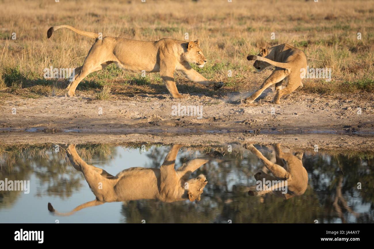 I Lions in area di Savuti del Botswana giocando nei pressi di un acqua naturale pan Immagini Stock