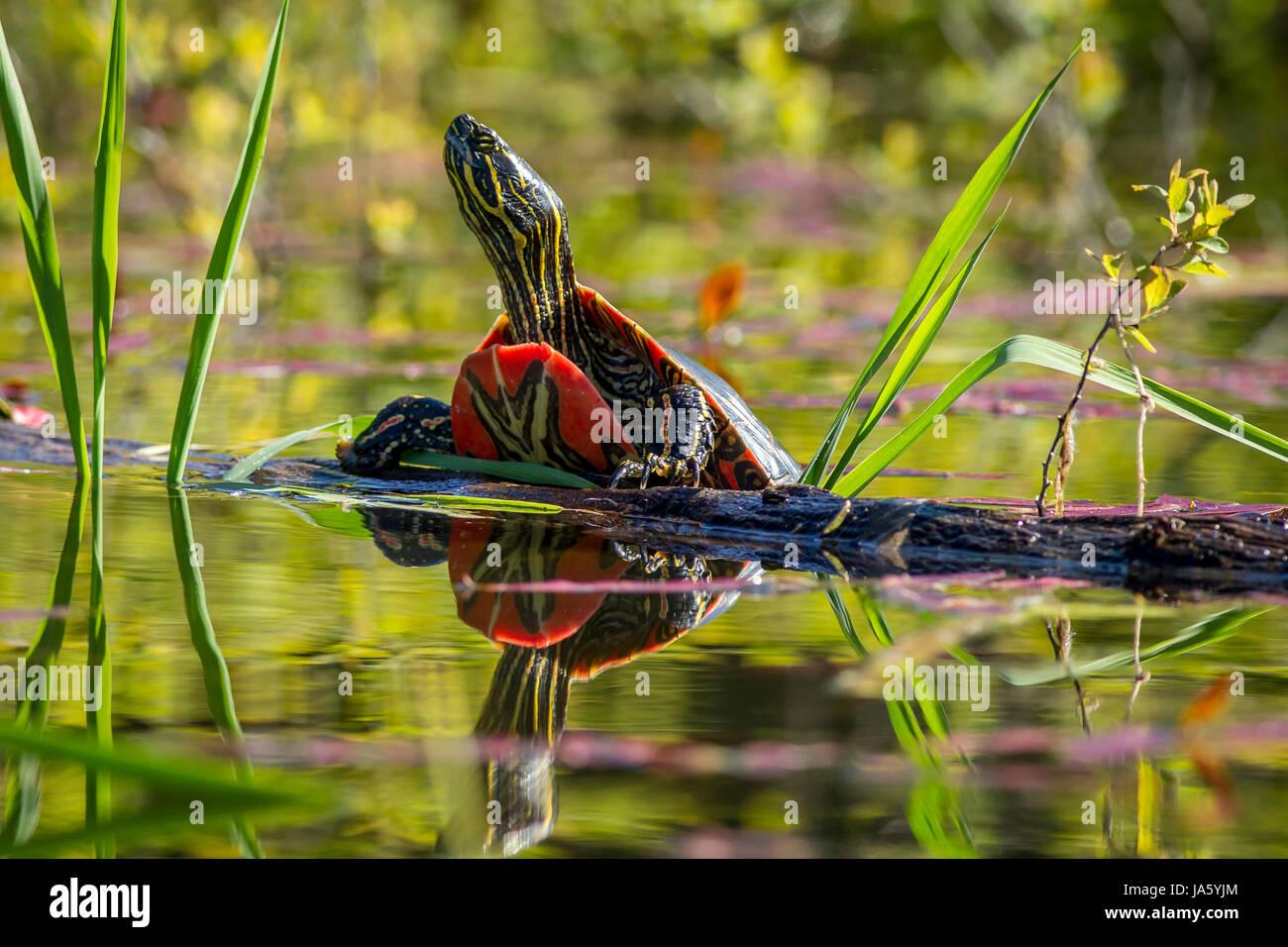 Un dipinto di turtle poggia su un log in acqua calma in Twin Lakes, Idaho. Foto Stock