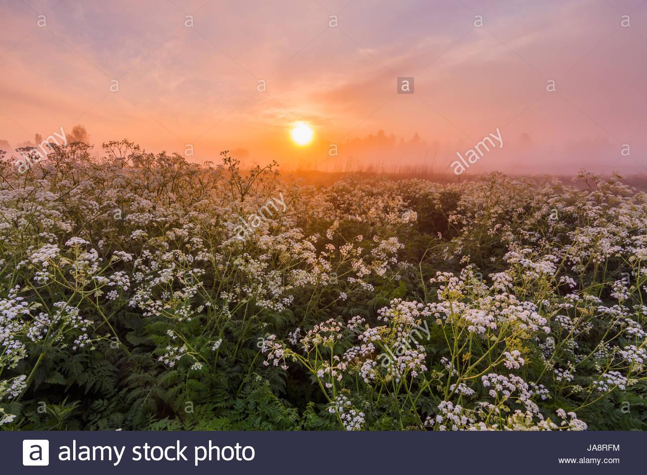 Misty dawn sulla sponda del fiume con i fiori Immagini Stock
