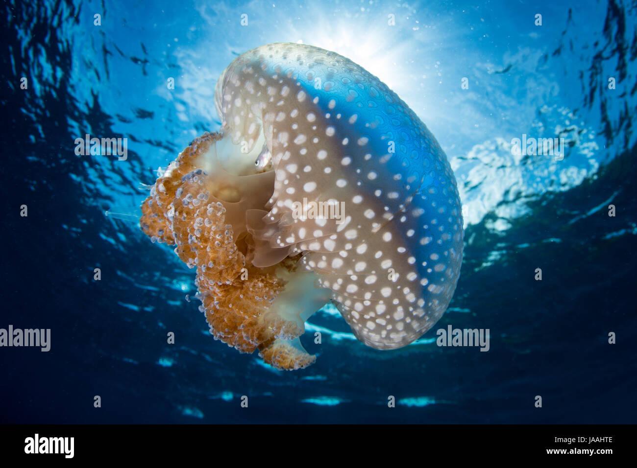 La luce del sole i contorni di una bellissima medusa, Thysanostoma sp., come derive attraverso acque tropicali in Immagini Stock