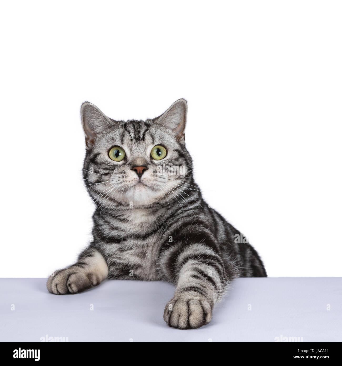 Black Tabby British Shorthair Gatto Su Sfondo Bianco Appeso Sulla