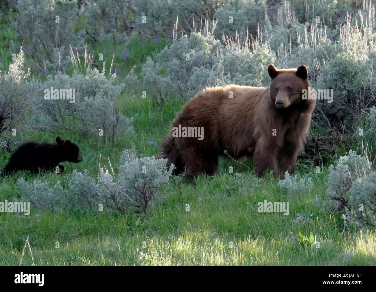 American Black Bear Sow femmina con baby cubs nel Parco Nazionale di Yellowstone, Wyoming Immagini Stock
