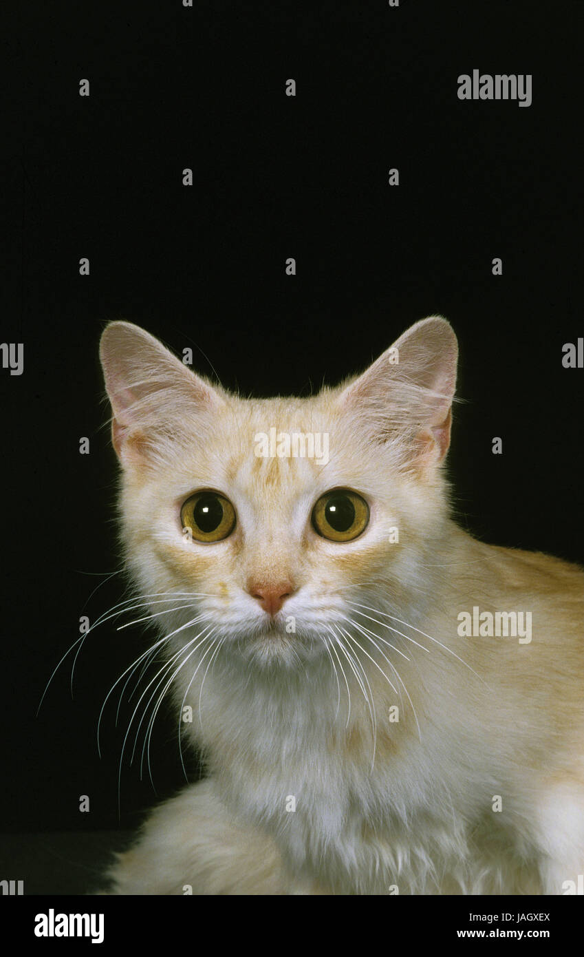 Gatto,Cymric,Longhaired Manx o Kymrische cat,femmina,sfondo nero, Immagini Stock