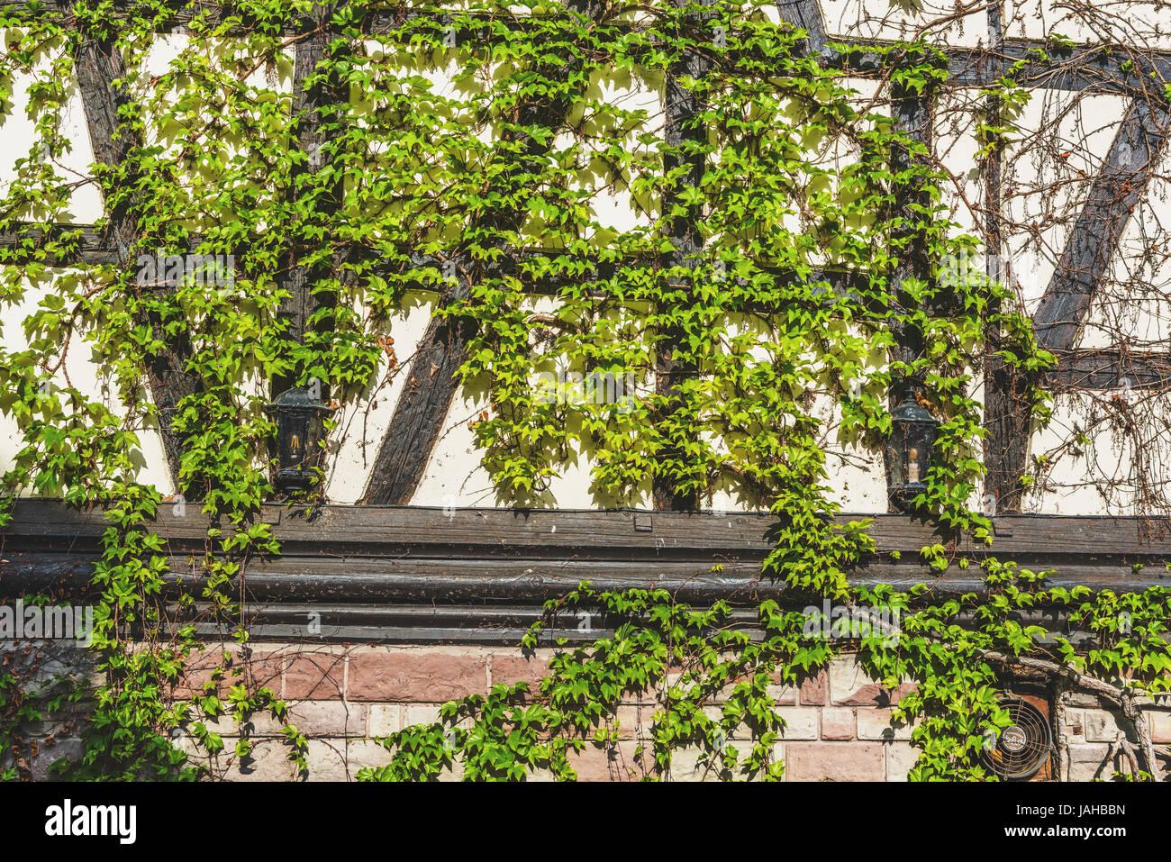 Fresco Verde Edera Crescente Sul Vecchio Muro Esterno Di Una Casa In