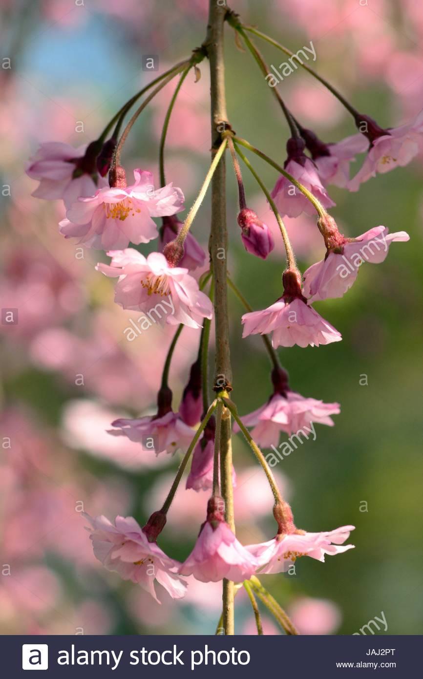 Un ramo di fioritura di un pianto higan ciliegio, Prunus subhirtella pendula. Immagini Stock