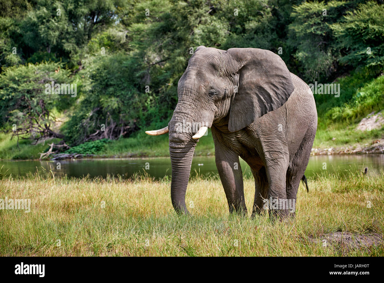 Bush africano Elefante al fiume Boteti, Makgadikgadi-Pans-National Park, Botswana, Africa Immagini Stock