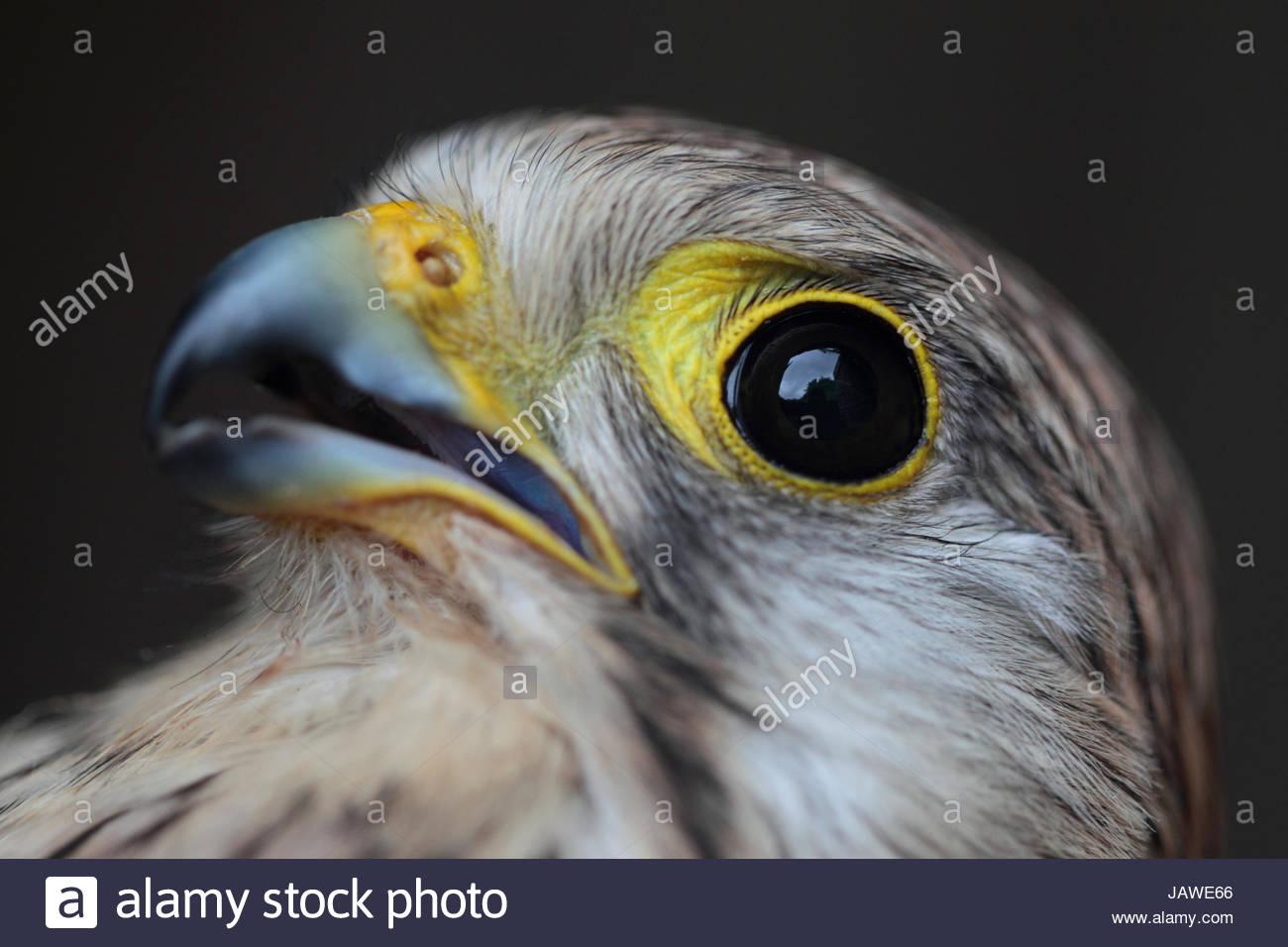 Una femmina di europeo, il Gheppio Falco tinnunculus, liberato dopo una scarica elettrica. Immagini Stock