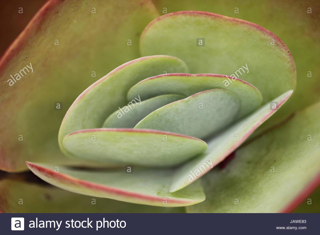 Primo piano di foglie di piante succulente. Immagini Stock