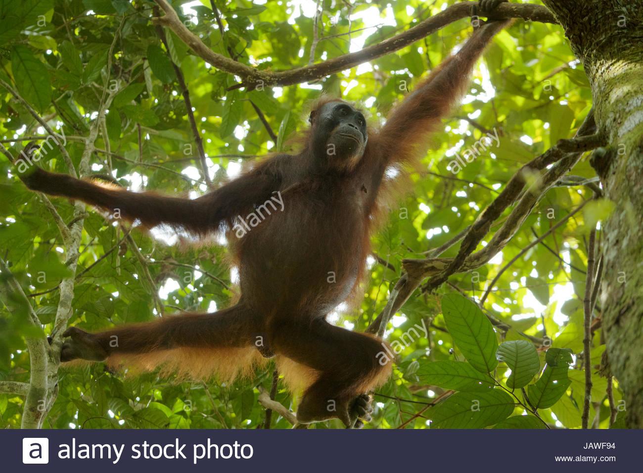 Una femmina Bornean orangutan, pongo pygmaeus wurmbii, arrampicarsi sugli alberi in Gunung Palung National Park. Immagini Stock