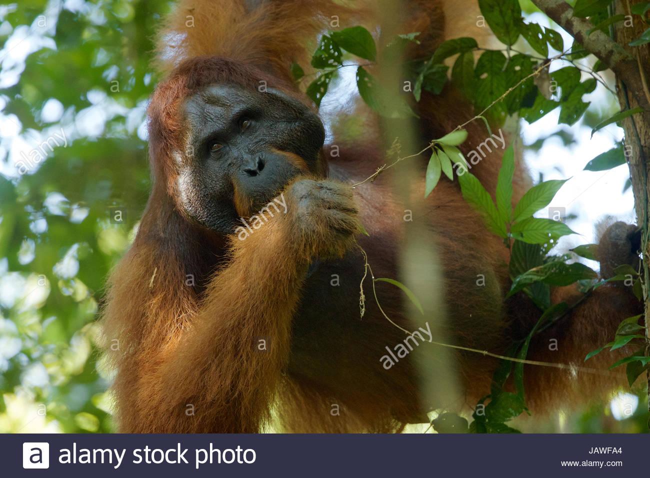 Un maschio adulto Bornean orangutan, pongo pygmaeus wurmbii, poggia su un ramo di albero in Gunung Palung National Immagini Stock