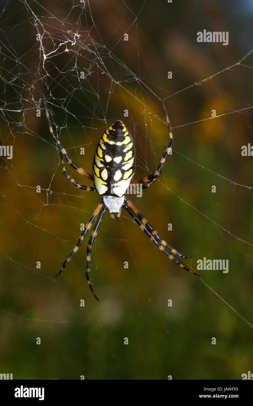Un nero e giallo orb spider, Agiope aurantia, centrato nella sua web. Immagini Stock