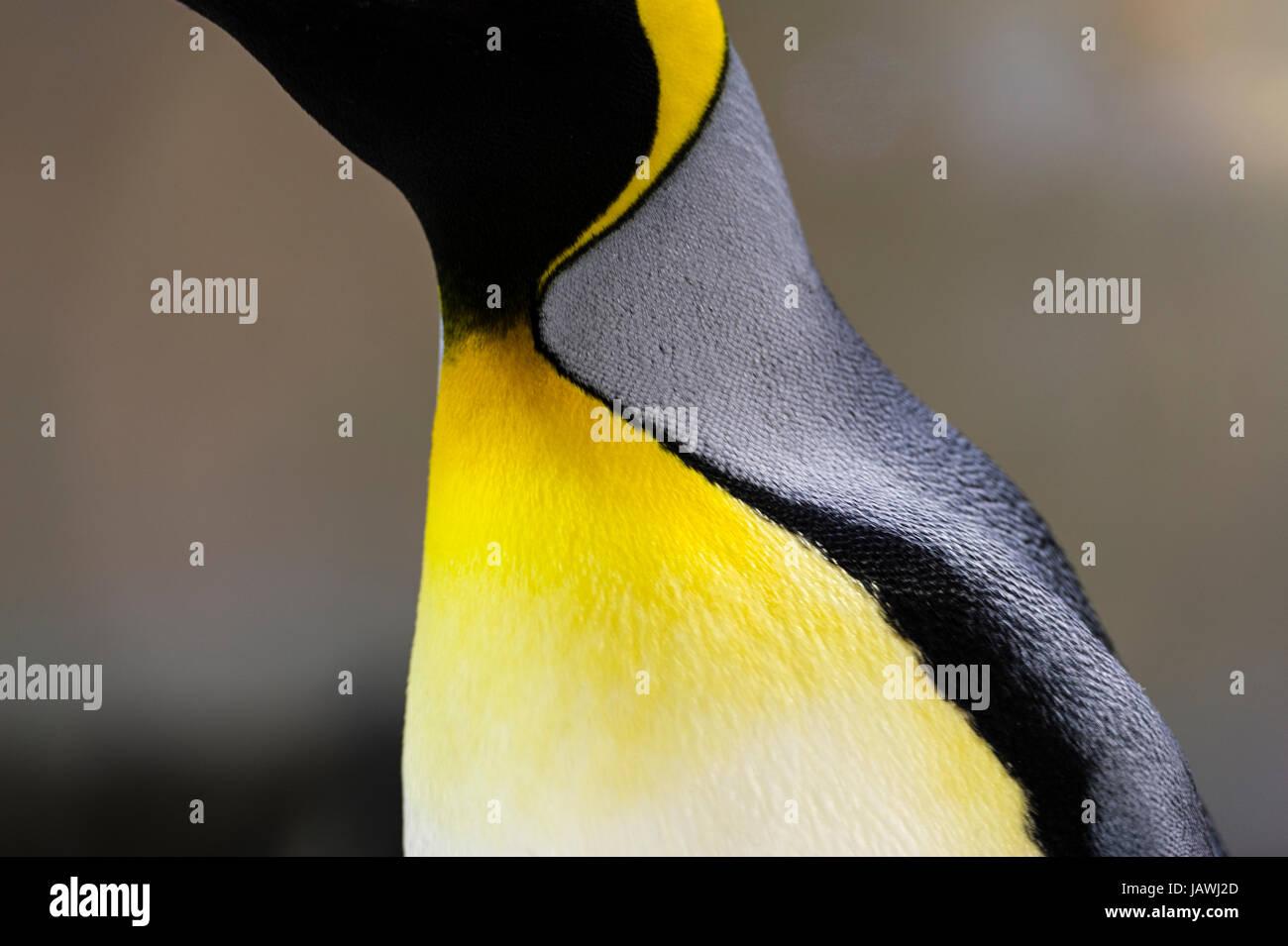 Colore giallo-arancio piumaggio piuma sul petto di un pinguino reale. Immagini Stock