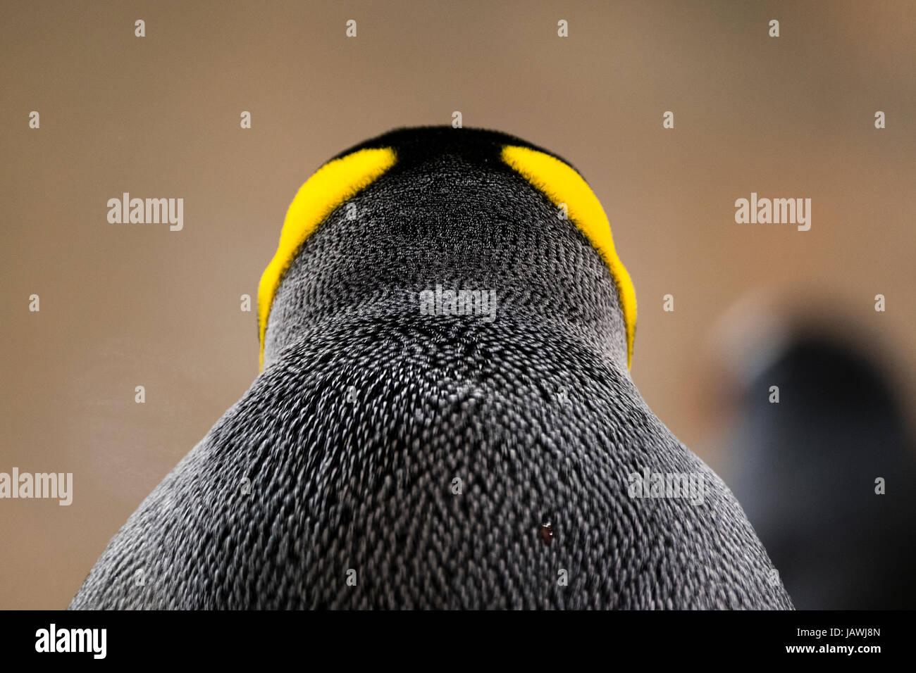 Colore giallo-arancione della testa e del collo giù piumaggio su un pinguino reale. Immagini Stock