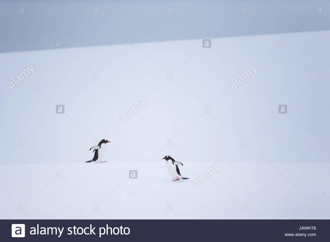 I pinguini Gentoo durante la neve e whiteout condizioni in Antartide. Foto Stock