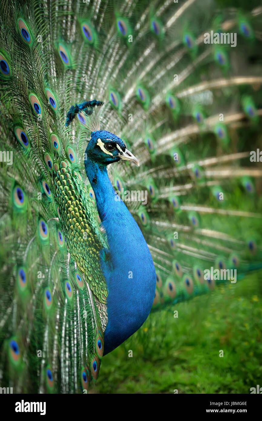 Ritratto di bellissimo pavone con le piume fuori Immagini Stock
