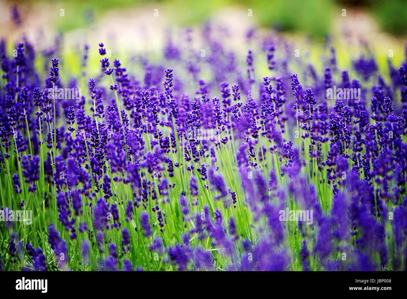 Piante di lavanda (Lavandula angustifolia) Immagini Stock