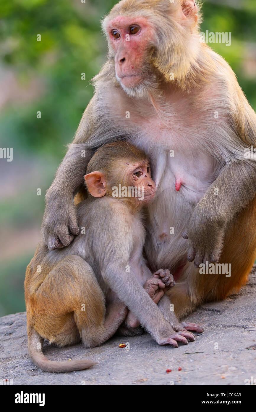 Macaco rhesus macaca mulatta con un bambino seduto su for Il tuo account e stato attaccato