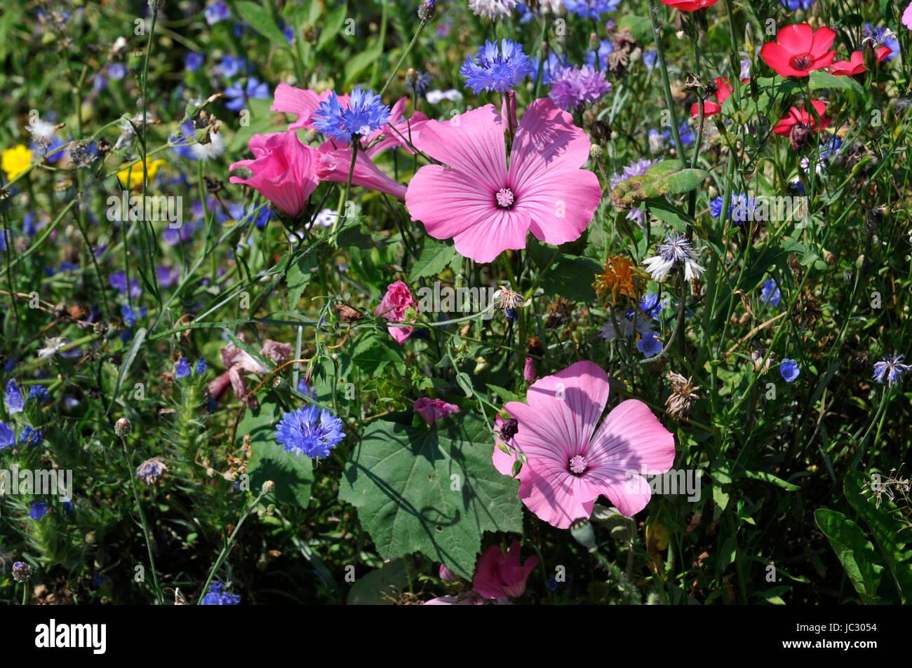 Il papavero estate fiore Foto Stock