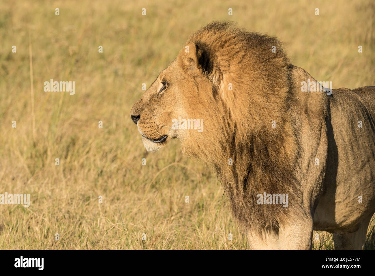 Profilo del leone Immagini Stock
