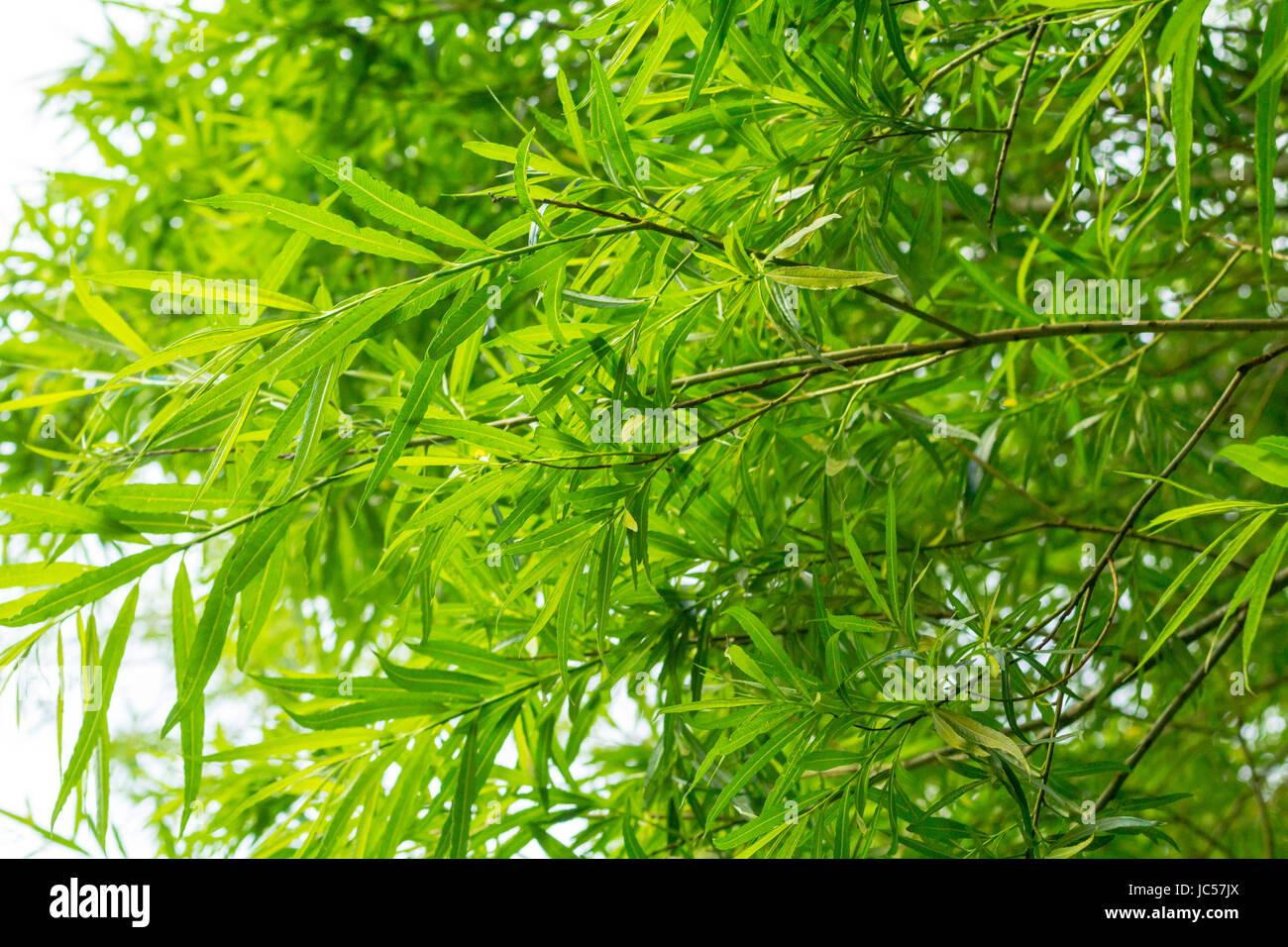 Piante di bambù sfondo Immagini Stock