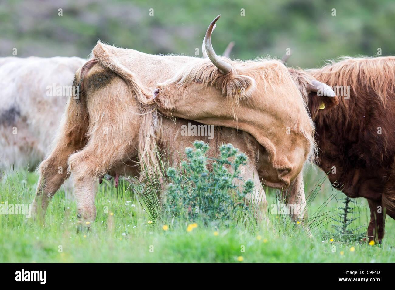 Highland Cattle Immagini Stock
