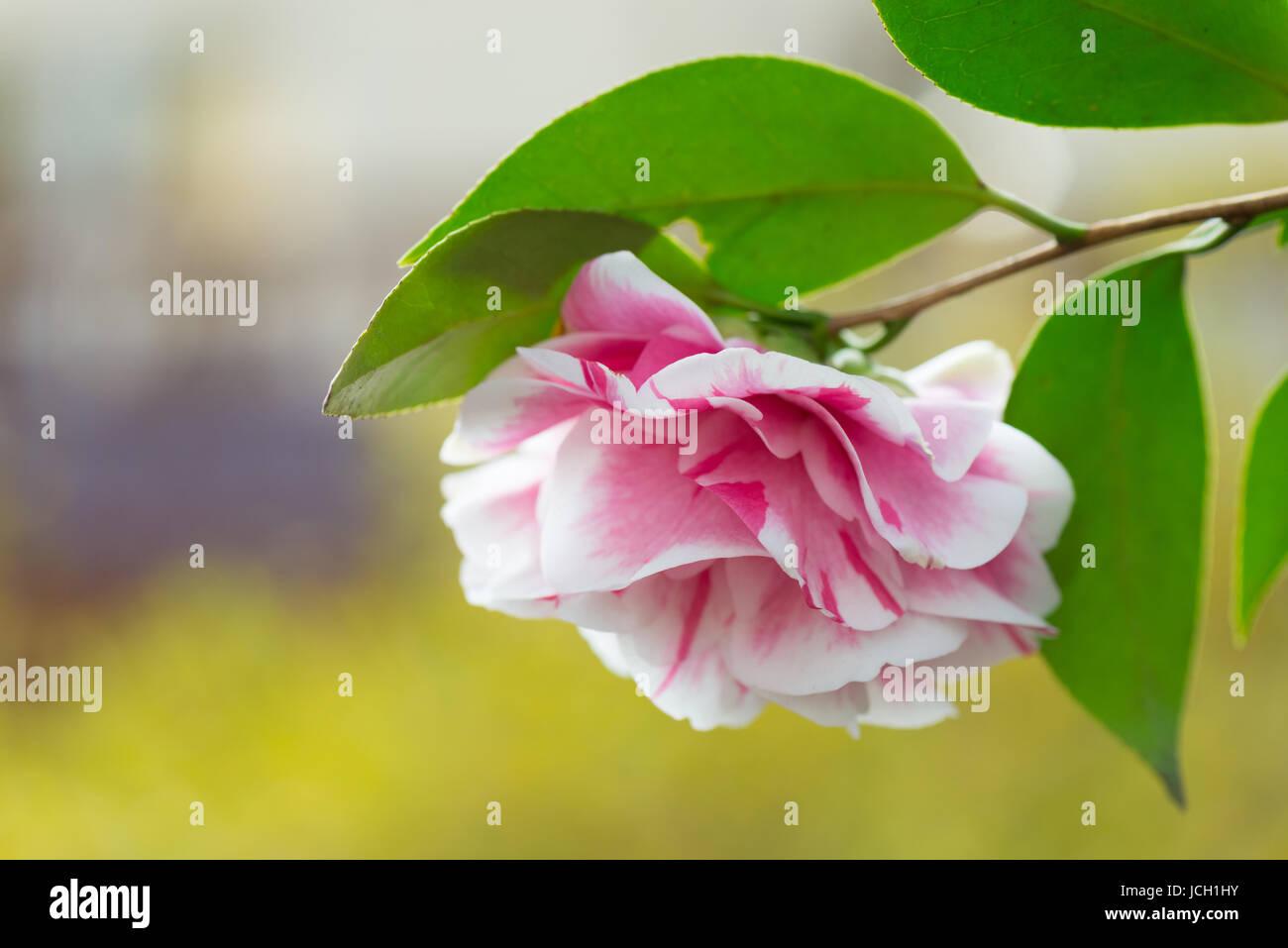 Una Rosa E Bianco Depressione Camellia Insieme Contro Un Dolce