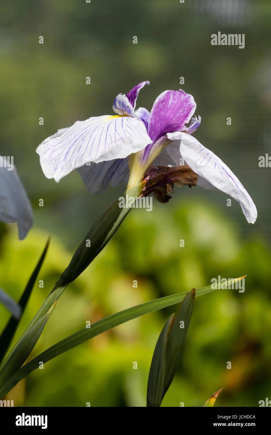 Bianco venato cade e viola le norme dell'estate precoce fioritura acqua, iris Iris ensata 'Dresden Cina Immagini Stock