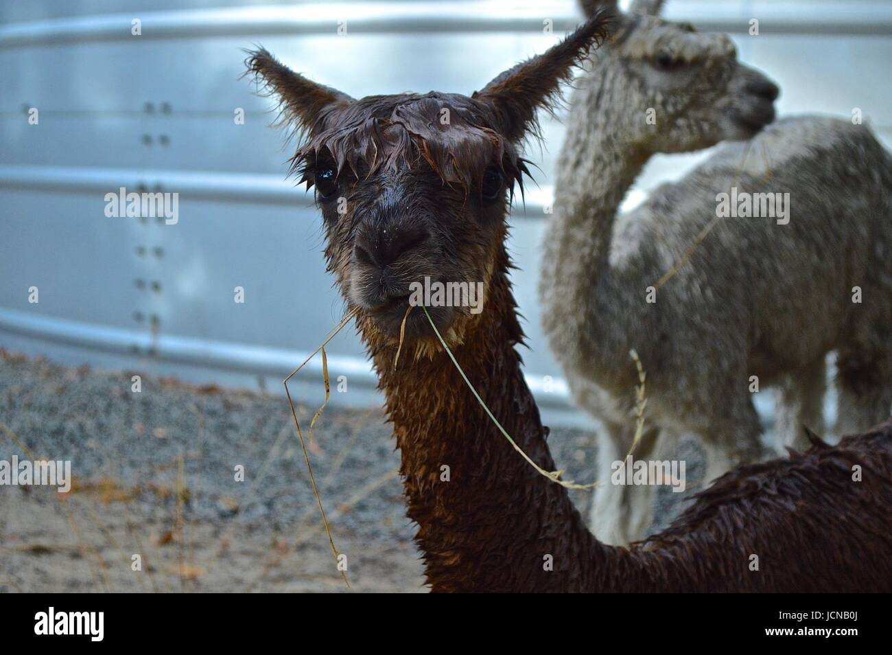 Alpaca bagnato con erba nella sua bocca Immagini Stock