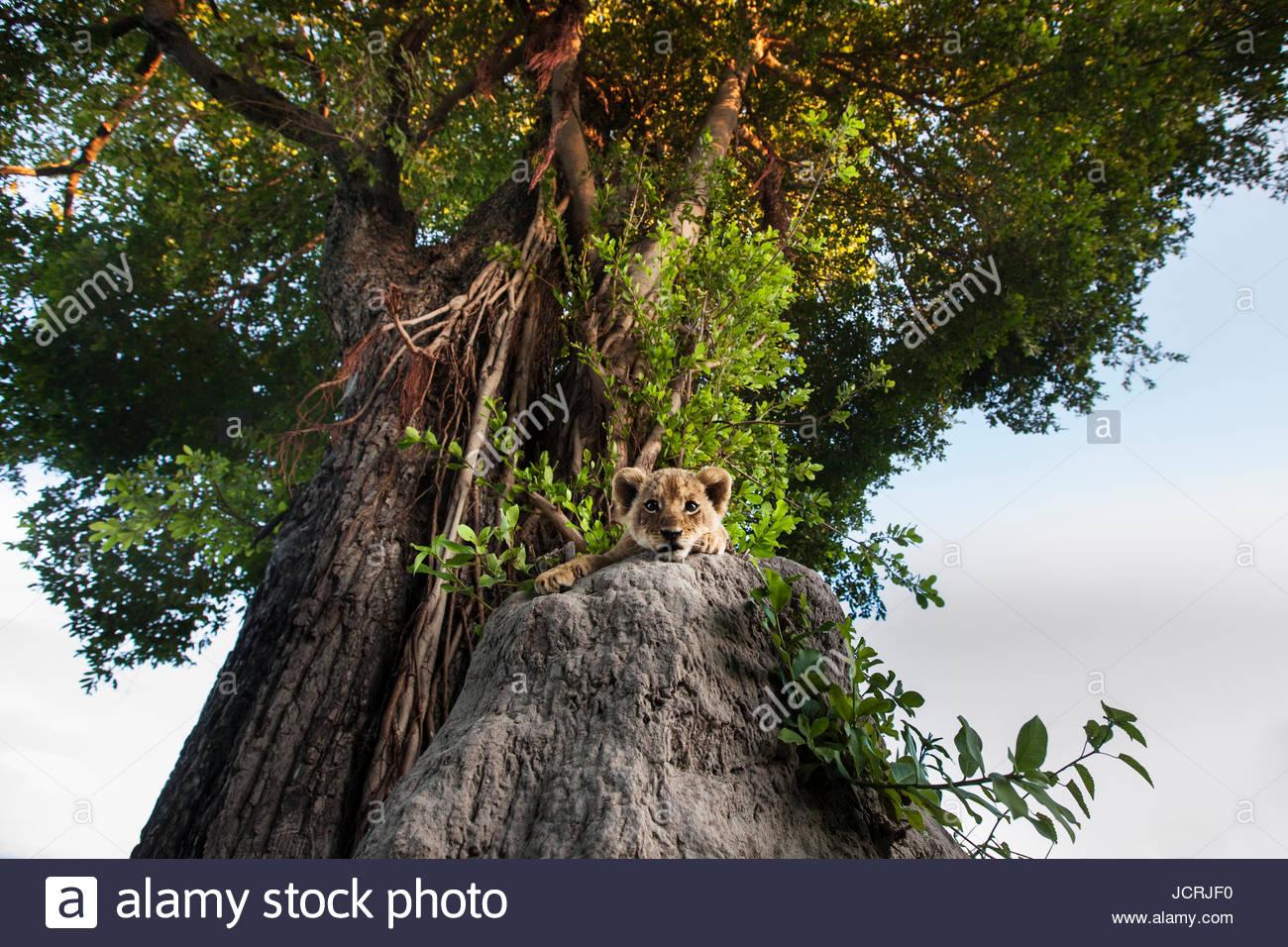 Un LION CUB Panthera leo, rilassante su un ant hill sotto un grande albero. Immagini Stock