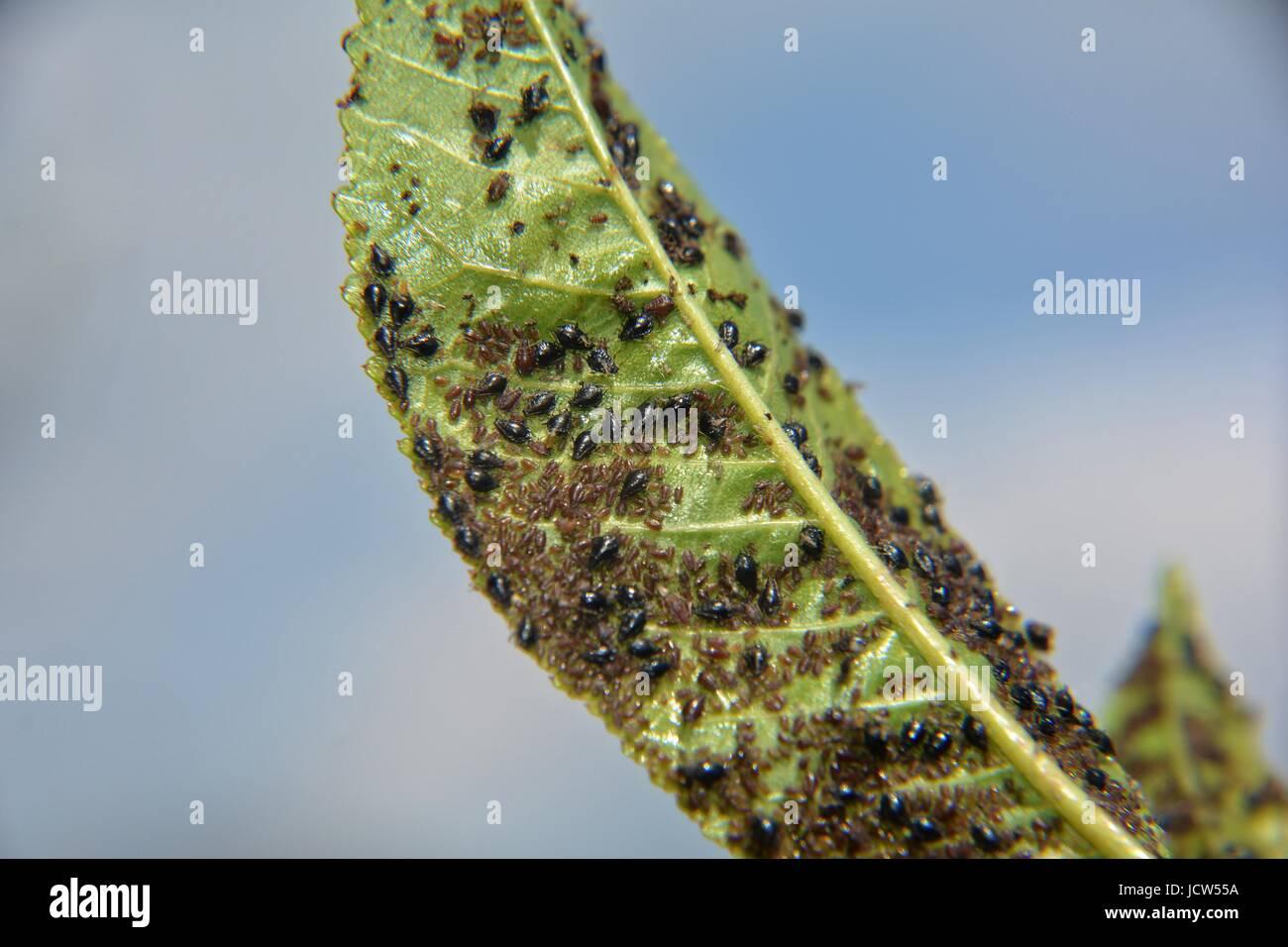 Molti afidi su un albero ciliegio leaf Immagini Stock