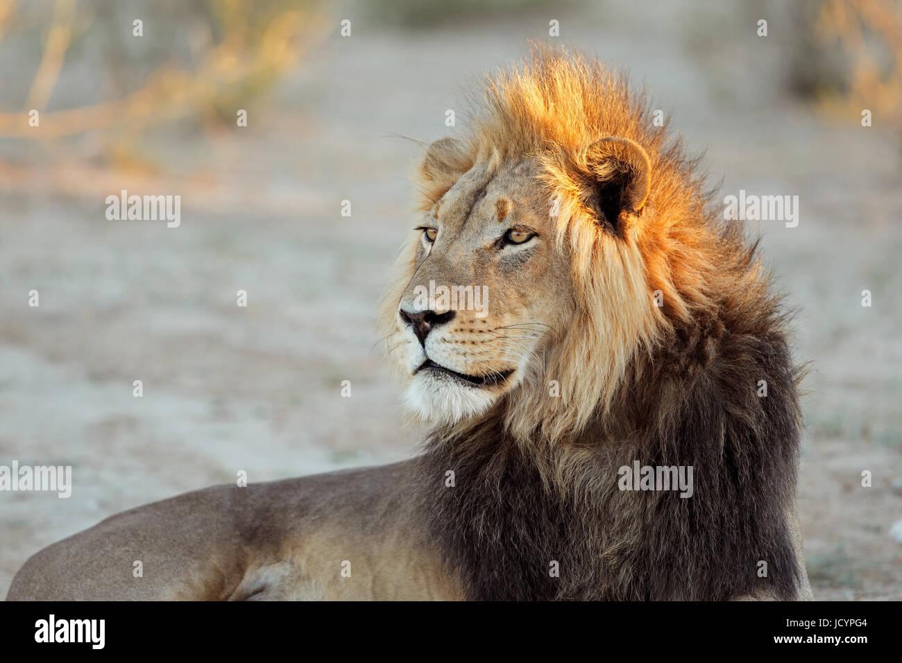 Ritratto di un grande maschio di leone africano (Panthera leo), Sud Africa Immagini Stock