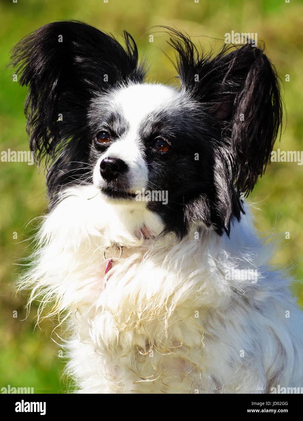 Papillon cane (Continental Toy Spaniel) in bianco e nero Foto stock - Alamy
