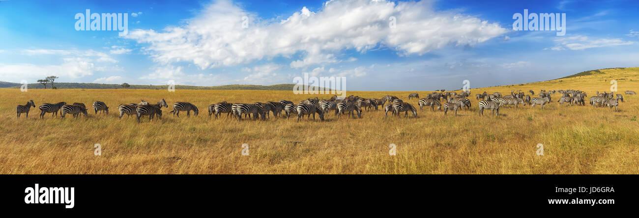 Zebre in una fila a piedi nella savana in Africa. Parco nazionale Masai Mara in Kenya Foto Stock