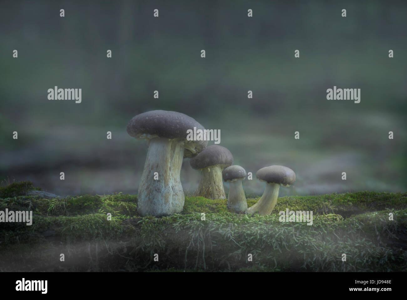 I funghi di densa nebbia Foresta Immagini Stock
