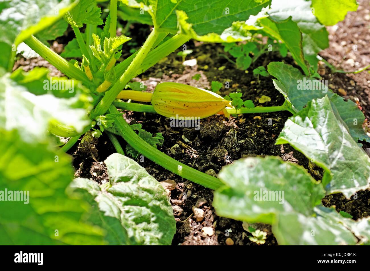 Zucchine essendo cresciuto su un giardino riparto SUSSEX REGNO UNITO Foto Stock