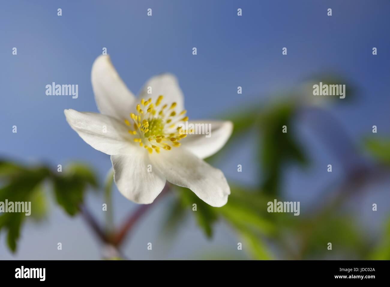 Anemone legno conosciuto anche come windflower, thimbleweed e odore fox Foto Stock