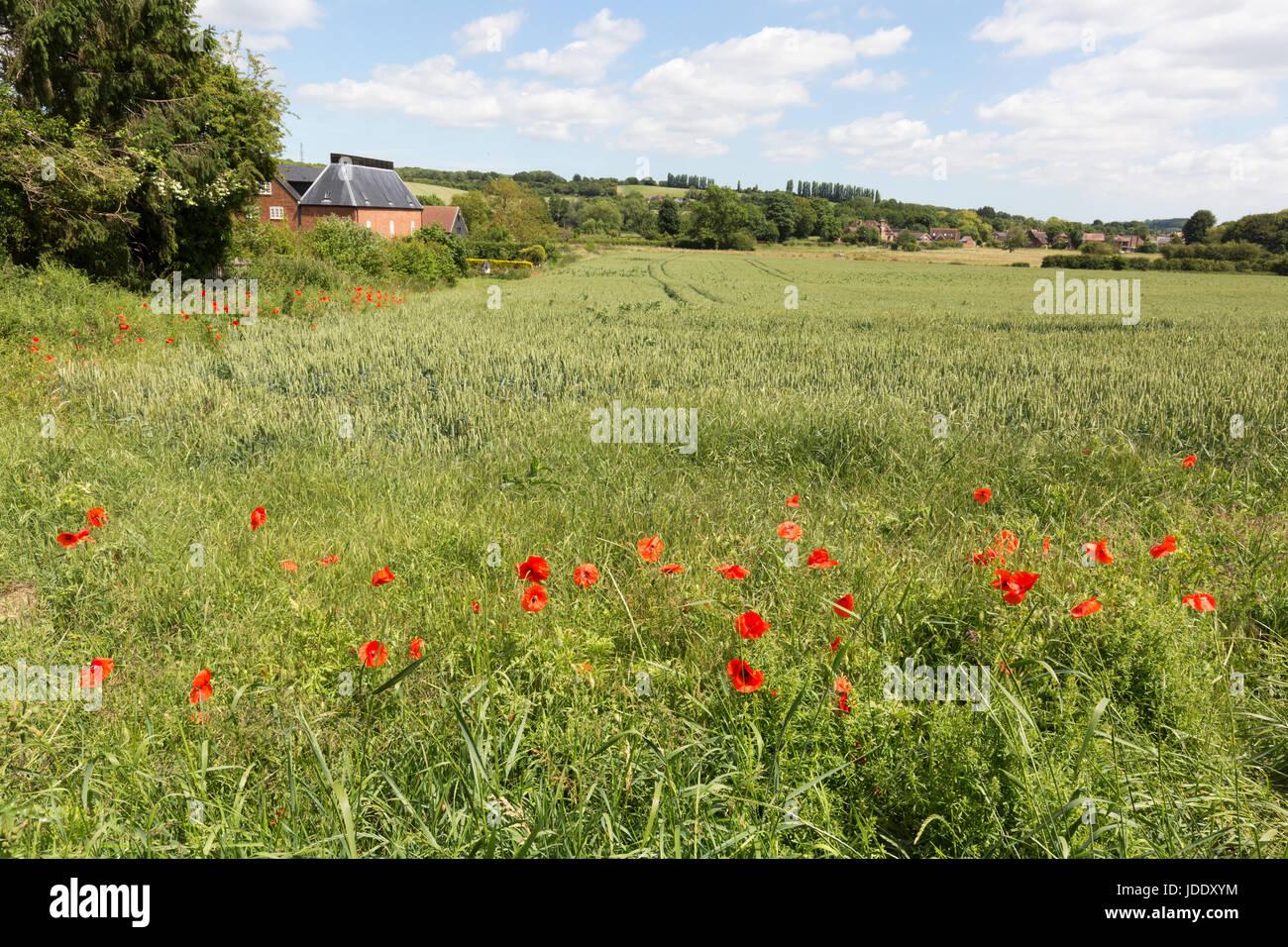 Campagna britannica in estate - Stour Valley paesaggi, papaveri in un campo in Chartham, Stour Valley, Kent England Immagini Stock
