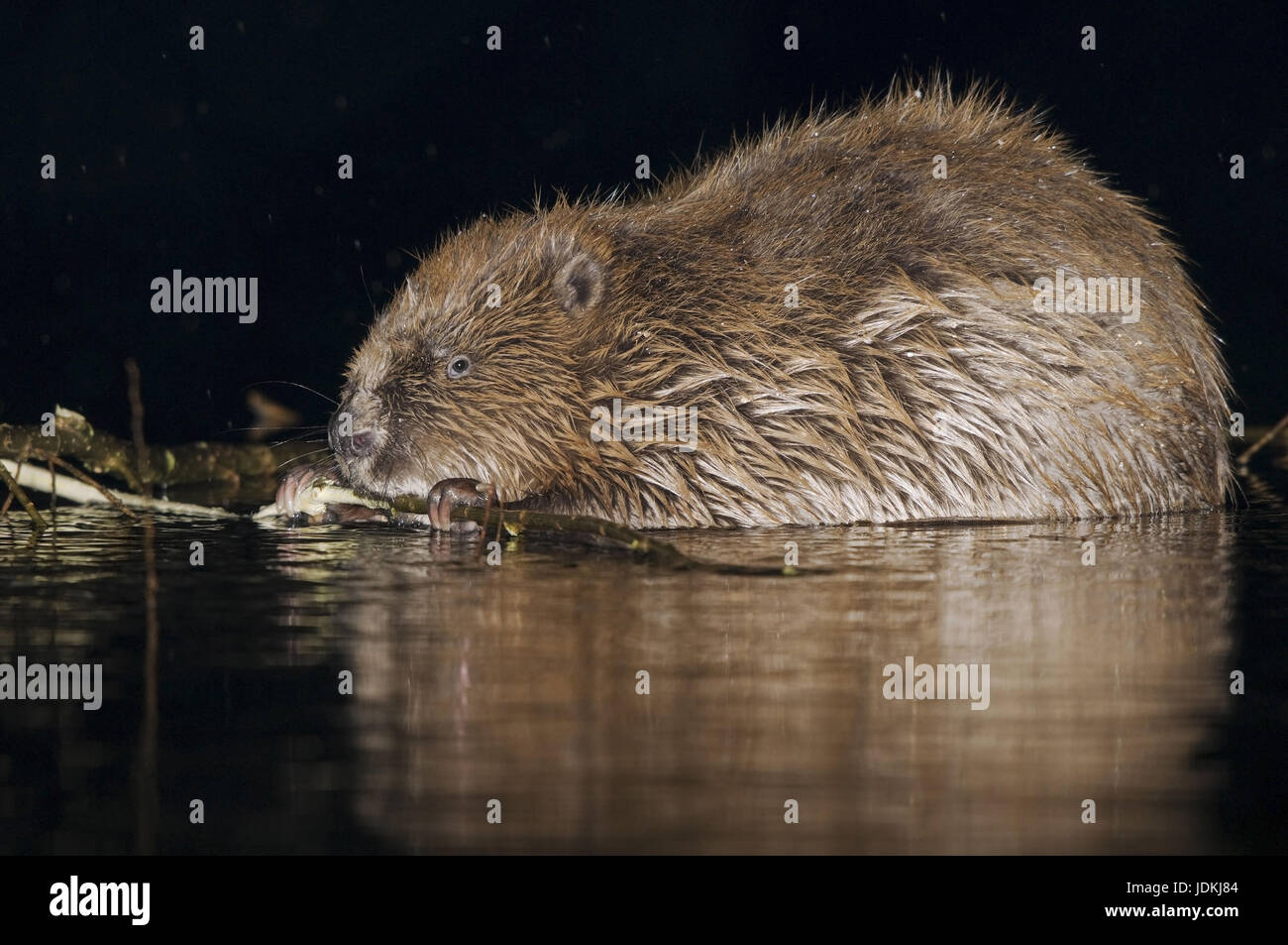 Castori, Castoridae, roditori Rodentia, mammiferi Immagini Stock