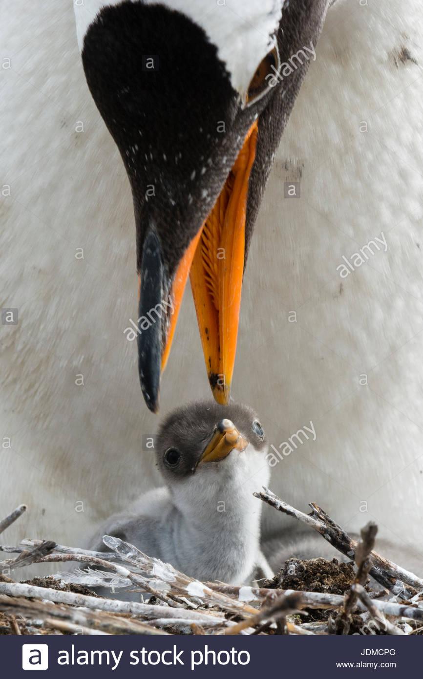 Un pinguino Gentoo, Pygoscelis papua, con il suo pulcino. Immagini Stock