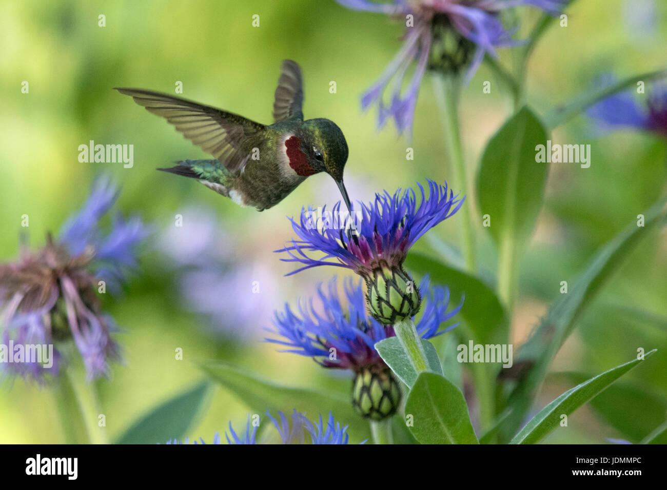 Ruby-throated Hummingbird feed maschio sul Corso di Laurea di fiori di pulsante Immagini Stock